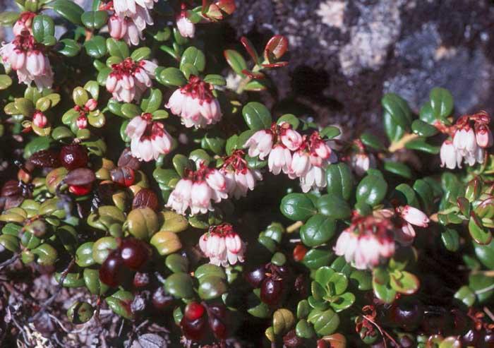 Image result for vaccinium vitis-idaea