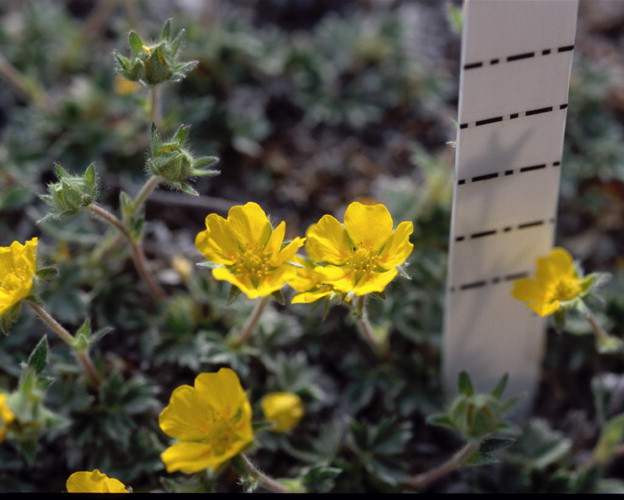 Flora of the canadian arctic archipelago potentilla vahliana lehm note the often overlapping heart shaped petals are orange towards the centre nunavut southampton island coral harbour aiken and brysting 01068 can mightylinksfo