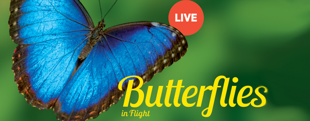Text: Butterflies in Flight. Live. Image: A blue butterfly.